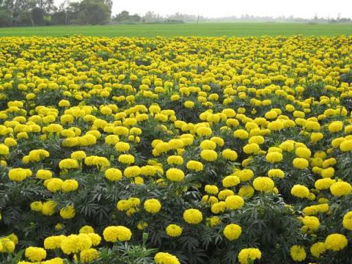vườn hoa cúc nở vàng rực rỡ