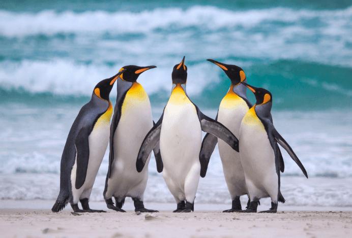 Nưng Chim cánh cụt đang vui đùa bên nhau