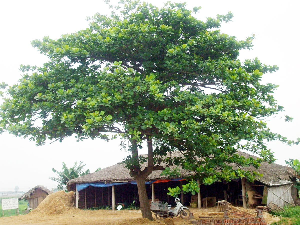 Kết quả hình ảnh cho cây bàng