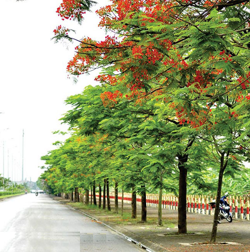 Hoa phượng trồng khắp phố làm mát đường đi