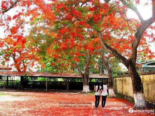 Hoa phượng nở đỏ sân trường