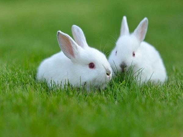 Bài văn hay Thuyết minh về con thỏ