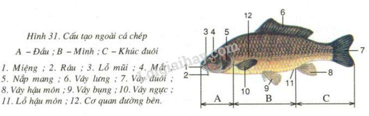 Bài văn Thuyết minh về con cá chép