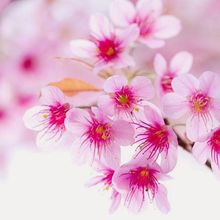 Bài văn hay Thuyết minh về hoa đào